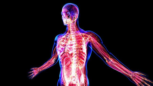 Anatomy Of The Human Body Stock Animation 1591306